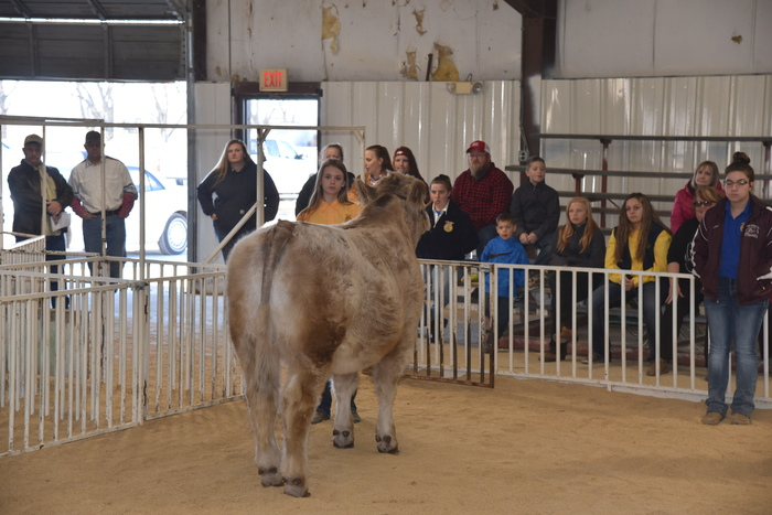Grand Steer shown by Bayley Haraway